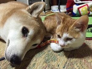 柴犬ヒロと茶トラ猫サクラ-03